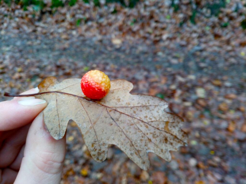 Blick auf eine schöne Eichengalle in rot und gelb unterhalb eines Eichenblattes
