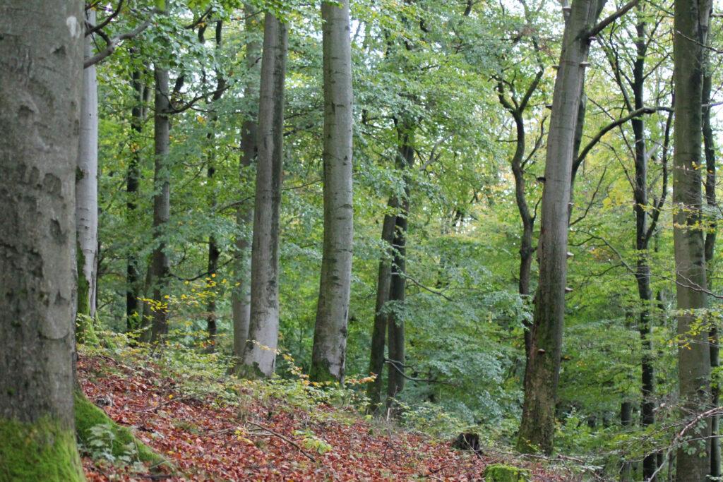 Ein sehr naturnaher Buchenwald