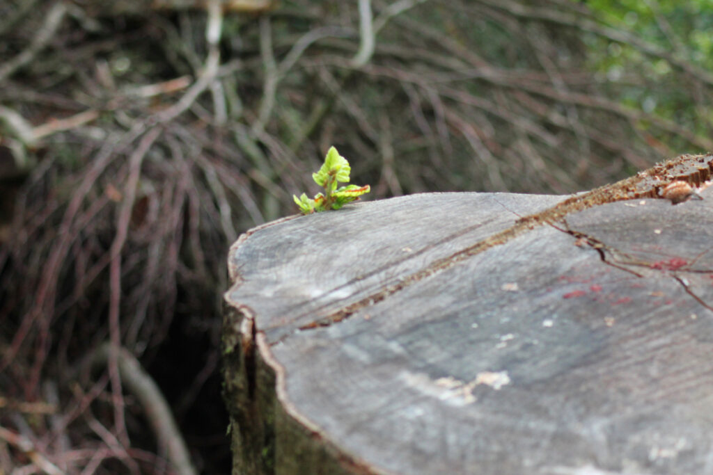 Da kommt ein kleiner Spross aus einem abgesägten Baumstumpf