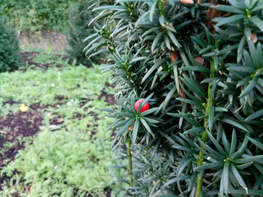 tödlich giftige Eibe (Taxus baccata)