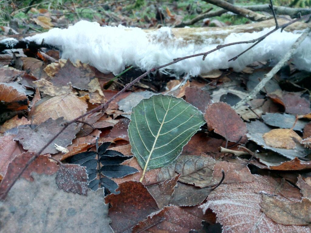 Haareis (Eiswolle) an einem Stück Totholz im Wald