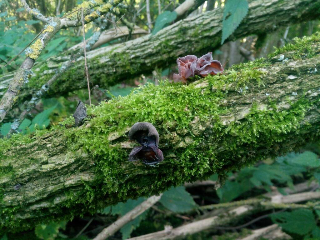 Judasohr (Mu-Err-Pilz) am Ast eines Holunderstrauches.