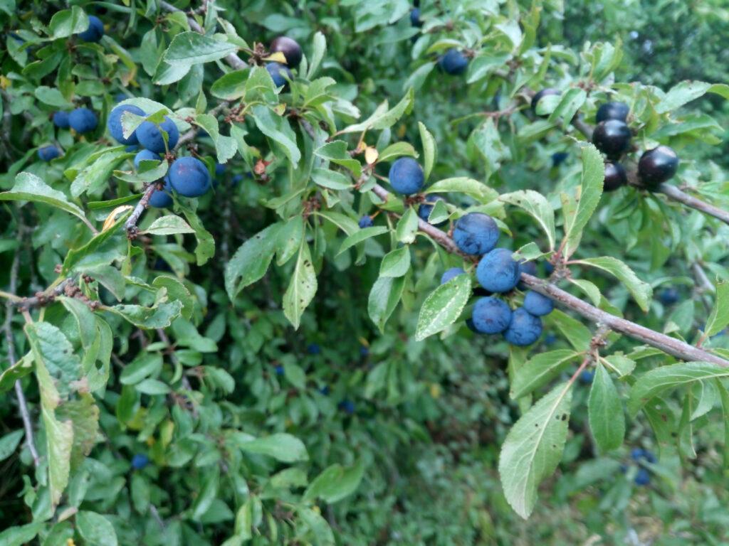 Schlehenfrüchte zu Beginn der Reifezeit. Anfang Herbst.