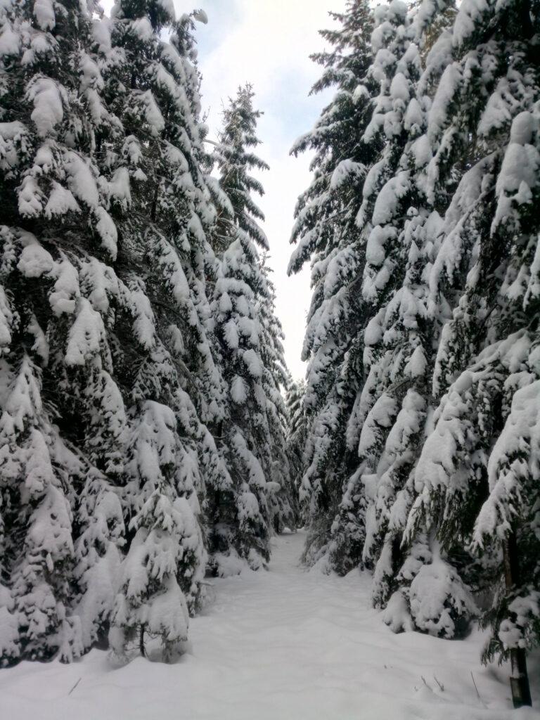 Mit Schnee bedeckte Fichten. Die Äste hängen von der Schneelast bereits herab.