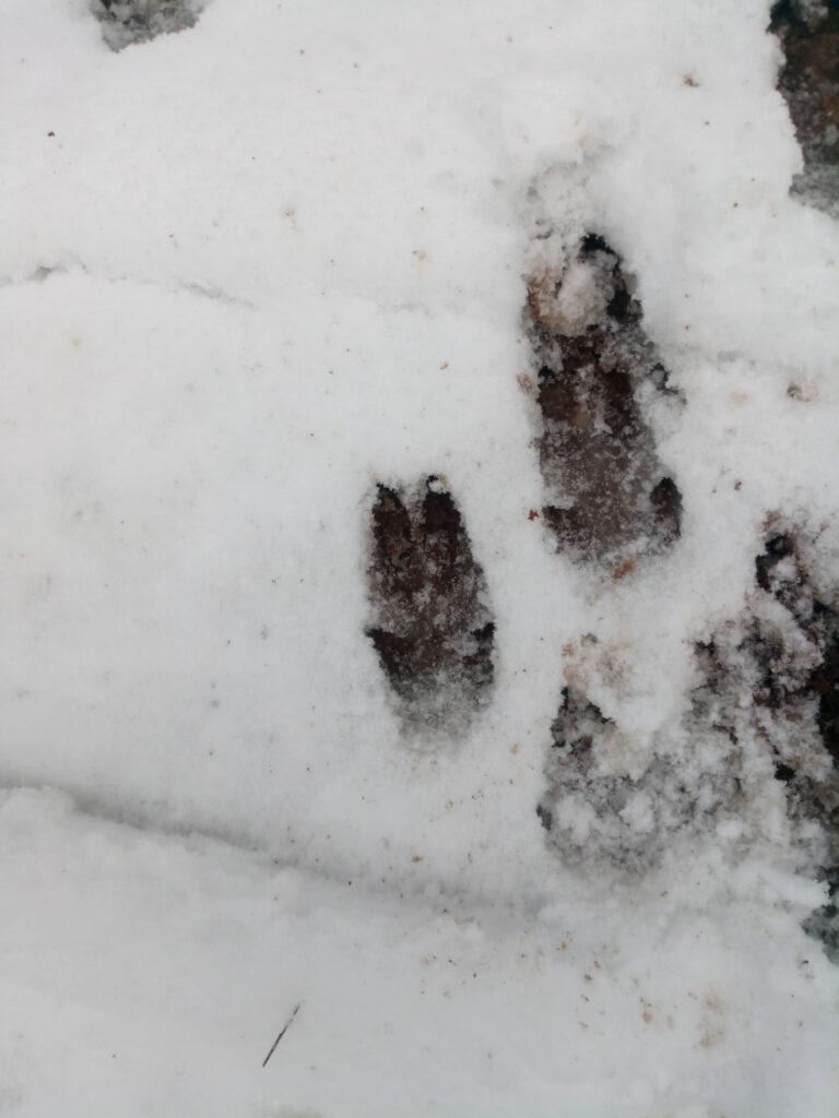Wildschweinspuren (Trittsiegel) im Schnee