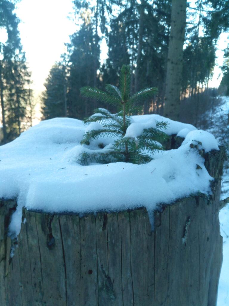 Kleiner Baum im alten Baumstumpf