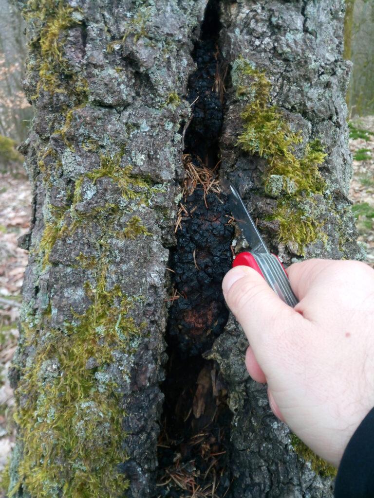 Stücke des Chaga-Pilzes mit dem Victorinox-Taschenmesser aus der Birke entnehmen.