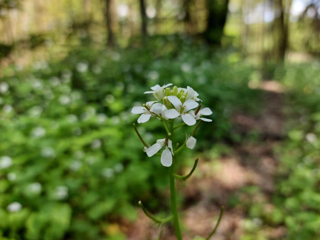 Blüte der Knoblauchsrauke