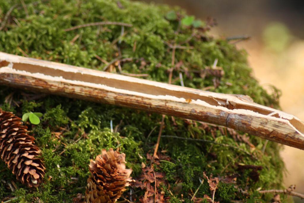 Ein halbierter Stängel des japanischen Staudenknöterichs