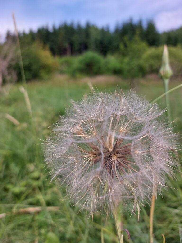 Eine Pusteblume am Wegesrand des Wittgensteiner Panoramawegs