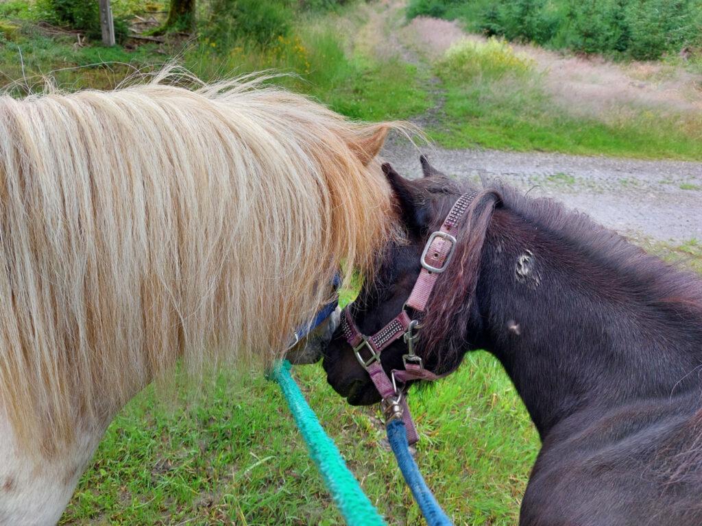Shetland-Ponys